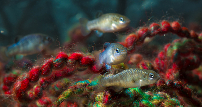 pupfish