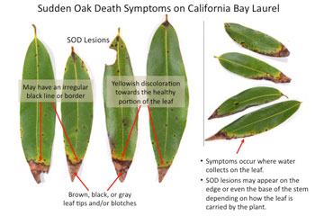 A guide with photos of SOD symptoms
