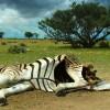 anthrax-zebra-2