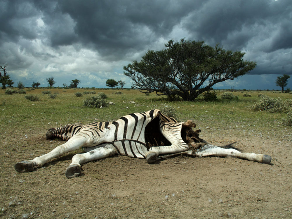 Carcass of a zebra infected with anthrax. Photo by Steve Bellan