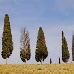 A row of Italian cypress trees near Siena, a city in Italy's Tuscany region. A number of trees show symptoms of cypress canker disease. Researchers have traced the origin of the pathogen responsible for the disease back to California. (Photo by Robert Danti, Italian National Research Council)