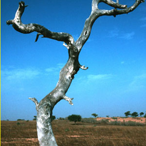 Climate change blamed for dead trees in Africa