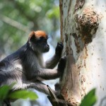 A red colobus monkey prepares to munch on the bark of Eucalyptus grandis , a non-native estrogenic tree in Kibale National Park. Greater consumption of estrogenic plants is linked to altered hormone levels and changes in behavior, finds a new UC Berkeley-led study. (Julie Kearney Wasserman photo)