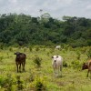 Policies supporting better use of pasture could help alleviate the pressure for deforestation in Brazil (iStock)